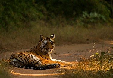Bengal tiger (Panthera tigris tigris) resting on track. Bandhavgarh National Park, India, December.