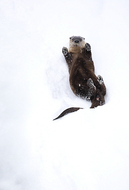 North American river otter (Lontra canadensis) on back, rolling on snow bank. Yellowstone National Park, USA, January.