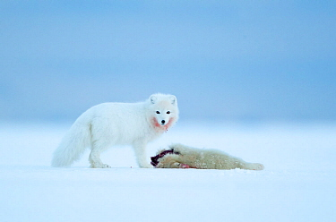 Arctic fox (Vulpes lagopus) standing in snow besides Ringed seal (Pusa hispida) pup prey. Svalbard, Norway, April.