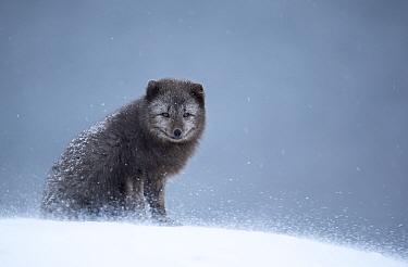 Arctic fox (Vulpes lagopus) resting in snow. Hornstrandir Nature Reserve, Iceland, February.