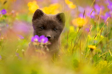 Arctic fox (Vulpes lagopus) cub in meadow, portrait. Hornstrandir Nature Reserve, Iceland, July.
