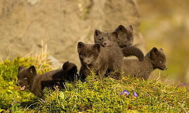 Arctic fox (Vulpes lagopus) cubs playing. Hornstrandir Nature Reserve, Iceland, July.