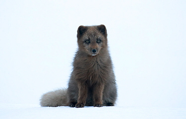 Arctic fox (Vulpes lagopus) blue morph, portrait in snow. Hornstrandir Nature Reserve, Iceland, March.
