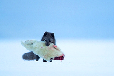 Arctic fox (Vulpes lagopus) carrying Ringed seal (Pusa hispida) pup prey in mouth. Svalbard, Norway, April.