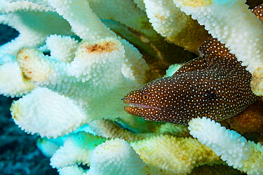 Whitemouth moray eel (Gymnothorax meleagris) sheltering in bleached Antler coral (Pocillopora grandis) due to marine heatwave. Kohanaiki, Kona, Hawaii, USA. December 2015.