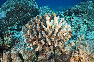 Antler coral (Pocillopora grandis), bleached due to symbiotic zooxanthellae algae being expelled because of environmental stress. Kohanaiki, North Kona Coast, Hawaii, USA. May 2020.