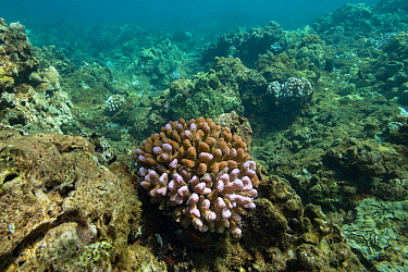 Cauliflower coral (Pocillopora meandrina) colony bleached during a marine heat wave, coral fluorescing violet believed to be a protective response to reduce cell damage from sunlight. Surrounding reef...