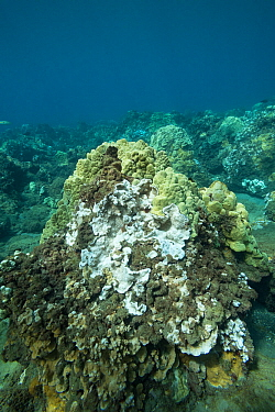 Coral head with bleached Rice coral (Montipora capitata), patches of dead coral covered by algae and healthy Lobe coral (Porites lobata). During period of unusually high seawater temperatures. Wahikul...