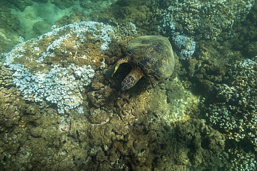 Green sea turtle (Chelonia mydas) feeding on algae growing on dead coral. Rice coral (Montipora capitata) heads bleached white by high water temperatures during marine heat wave. Honokeana Cove, Napil...