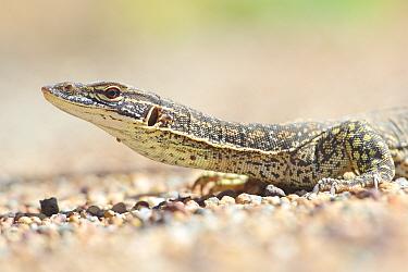Sand monitor (Varanus gouldii) portrait. Dryandra Woodland, Western Australia. November.