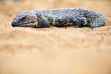 Shingleback lizard (Tiliqua rugosa) resting. Kalbarri National Park, Western Australia. October.