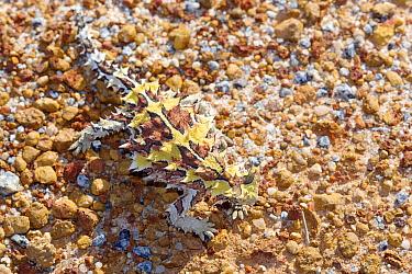 Thorny devil (Moloch horridus) camouflaged against brown stones and earth, dorsal view. Kalbarri National Park, Western Australia. October.