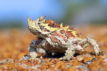 Thorny devil (Moloch horridus). Kalbarri National Park, Western Australia. October.