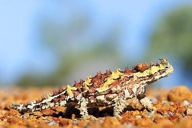 Thorny devil (Moloch horridus) walking on stones. Kalbarri National Park, Western Australia. October.
