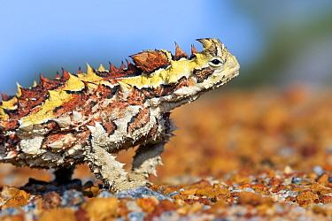 Thorny devil (Moloch horridus) portrait. Kalbarri National Park, Western Australia. October.
