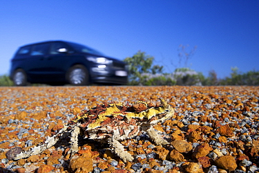 Thorny devil (Moloch horridus) on roadside with car passing. Kalbarri National Park, Western Australia. October 2019.