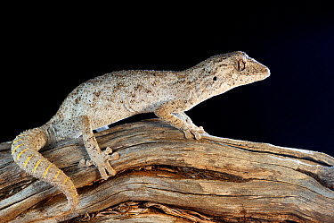 Western spiny-tailed gecko (Strophurus strophurus) on log. Francois Peron National Park, Shark Bay, Western Australia. October.