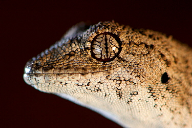 Western spiny-tailed gecko (Strophurus strophurus) portrait. Francois Peron National Park, Shark Bay, Western Australia. October.