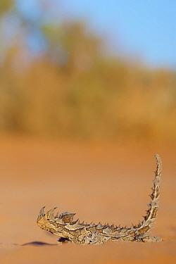 Thorny devil (Moloch horridus). Francois Peron National Park, Shark Bay, Western Australia. October.