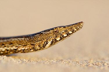 Burton's snake-lizard(Lialis burtonis) on sand, portrait. Edel Land National Park (proposed), Shark Bay, Western Australia. October.
