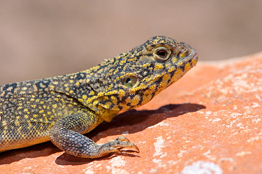 Western netted dragon (Ctenophorus reticulatus) basking on rock, portrait. Tamala Station, Shark Bay, Western Australia. October.
