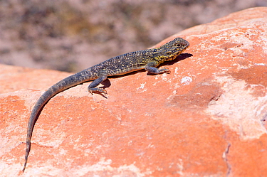Western netted dragon (Ctenophorus reticulatus) basking on rock. Tamala Station, Shark Bay, Western Australia. October.
