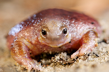 Turtle frog (Myobatrachus gouldii) portrait. Perth, Western Australia. October.