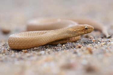 Bardick snake (Echiopsis curta). Leeuwin-Naturaliste National Park, Western Australia. November.