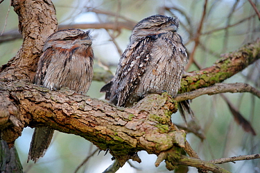 Tawny frogmouth (Podargus strigoides), two sleeping, perched on branch. Herdsman Lake, Perth, Western Australia. October.