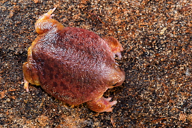 Turtle frog (Myobatrachus gouldii), dorsal view. Perth, Western Australia. October.