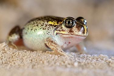 Moaning frog (Heleioporus eyrei). Margaret River;Western Australia, November.