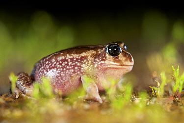 Sand frog (Heleioporus psammophilus). Leeuwin-Naturaliste National Park, Western Australia. November.