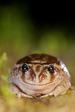 Sand frog (Heleioporus psammophilus) portrait. Leeuwin-Naturaliste National Park, Western Australia. November.
