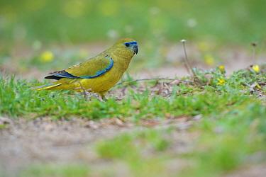 Rock parrot (Neophema petrophila). Hamelin Bay, Western Australia. November.