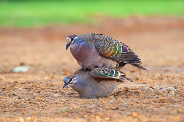 Common bronzewing (Phaps chalcoptera) pair mating. Cheynes Beach, Western Australia. November.