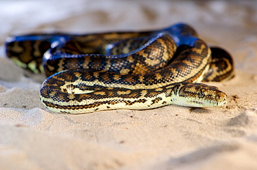 South-west carpet python (Morelia spilota imbricata), coiled on sand. Cheynes Beach, Western Australia. November.