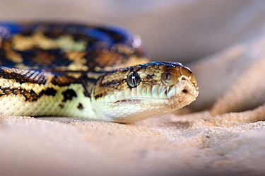 South-west carpet python (Morelia spilota imbricata), portrait. Cheynes Beach, Western Australia. November.