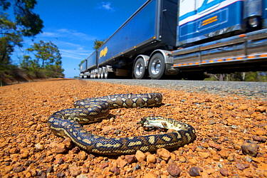 South-west carpet python (Morelia spilota imbricata) dead on roadside, victim of car strike. Road train in background. Chester Pass Road, Stirling Range National Park, Western Australia. November 2019...