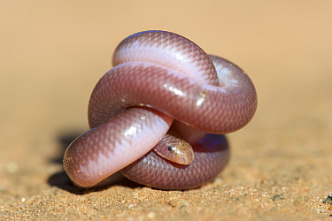 Southern blind snake (Anilios australis) coiled into ball on sand. Stirling Range National Park, Western Australia. November.