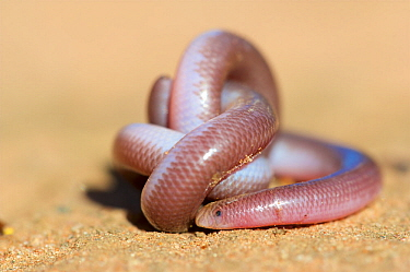 Southern blind snake (Anilios australis) coiled on sand. Stirling Range National Park, Western Australia. November.