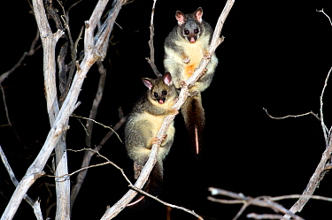 Common brushtail possum (Trichosurus vulpecula) female and large joey in tree at night. Stirling Range National Park, Western Australia. November.