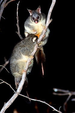 Common brushtail possum (Trichosurus vulpecula) female suckling large joey in tree at night. Stirling Range National Park, Western Australia. November.