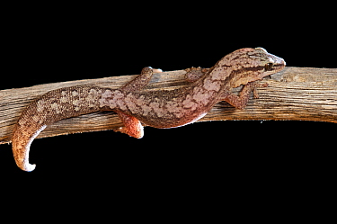 Reticulated velvet gecko (Hesperoedura reticulata) on branch at night. Dryandra Woodland, Western Australia. November.