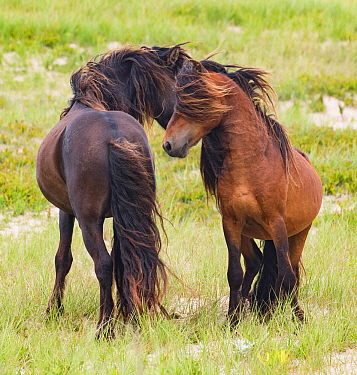 Sable Island horses, two wild stallions greeting, head to head . Sable Island National Park, Nova Scotia, Canada.