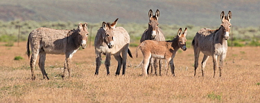 Wild burro / donkeys, group of five including foal standing in grassland. Warm Springs Herd Management Area, Oregon, USA. June.
