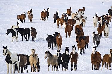 Mustang herd standing in snow. Black Hills Wild Horse Sanctuary, South Dakota, USA. January 2017.