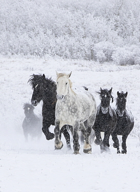 Percheron horse, group running uphill through snow, one dappled grey leading black horses, snow covered forest in background. Alberta, Canada. February.