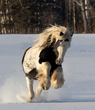 Gypsy vanner stallion galloping through snow. Alberta, Canada. February.