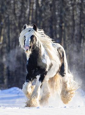 Gypsy vanner stallion cantering through snow. Alberta, Canada. February.