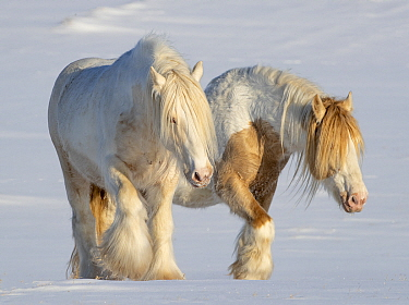 RF - Gypsy vanner horses, two stallions walking through snow. Alberta, Canada. February. (This image may be licensed either as rights managed or royalty free.)